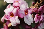 Mezereon (Daphne mezereum)